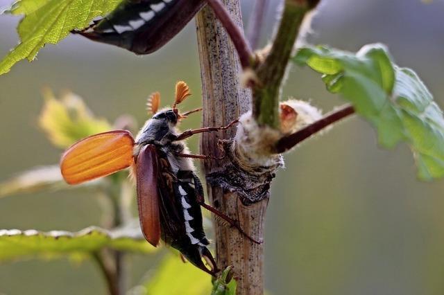 Käfer-Impression