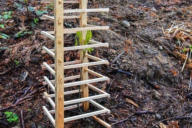 Förster experimentiert mit hölzernen Gittern zum Schutz junger Bäume