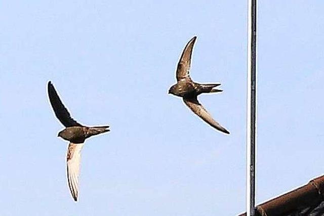 Ein Schopfheimer baut Nester für Mauersegler – und päppelt sie notfalls auch auf