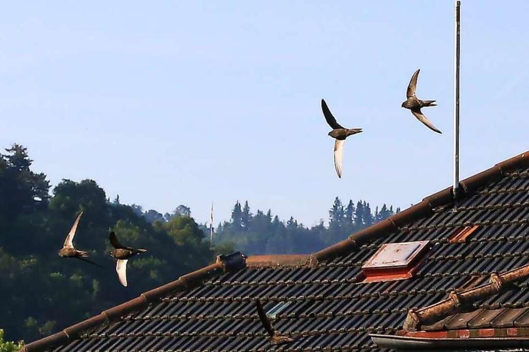 Mauersegler sind echte Luft-Akrobaten mit sehr hohen Geschwindigkeiten.    Foto: Elisabeth Faber