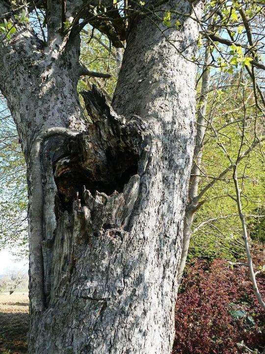Solche Baumhöhlen an Streuobstbäumen sind ökologisch besonders wertvoll.  | Foto: Erik Kunz