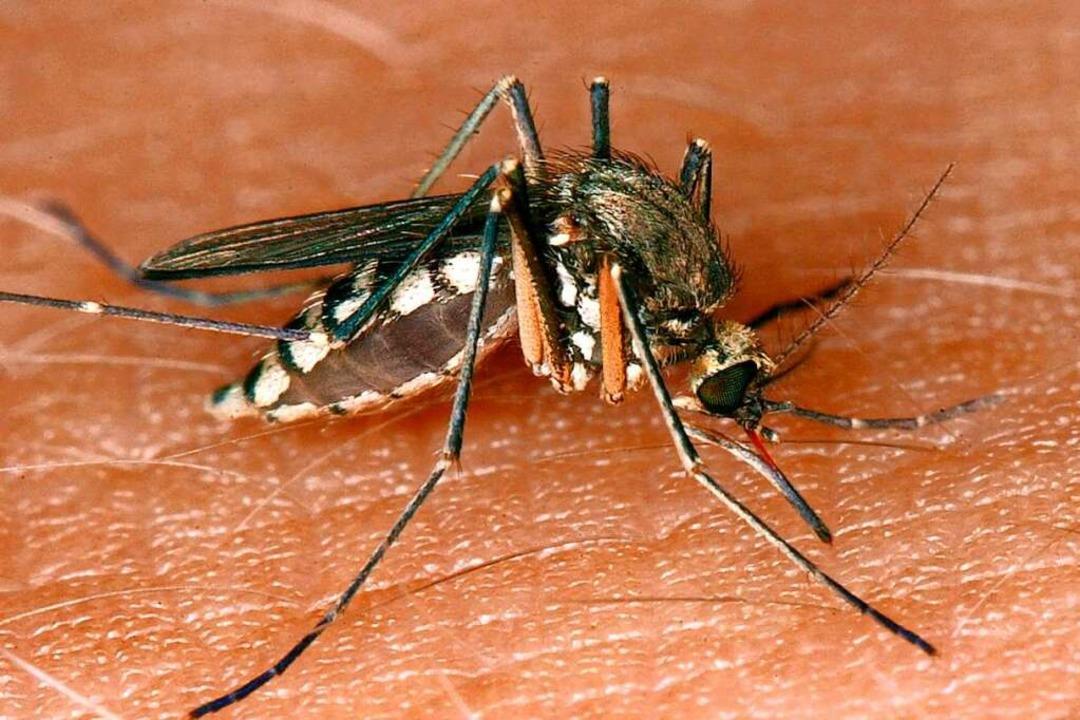 Eine Mücke saugt Blut aus der Haut.    Foto: Andreas Lander (dpa)