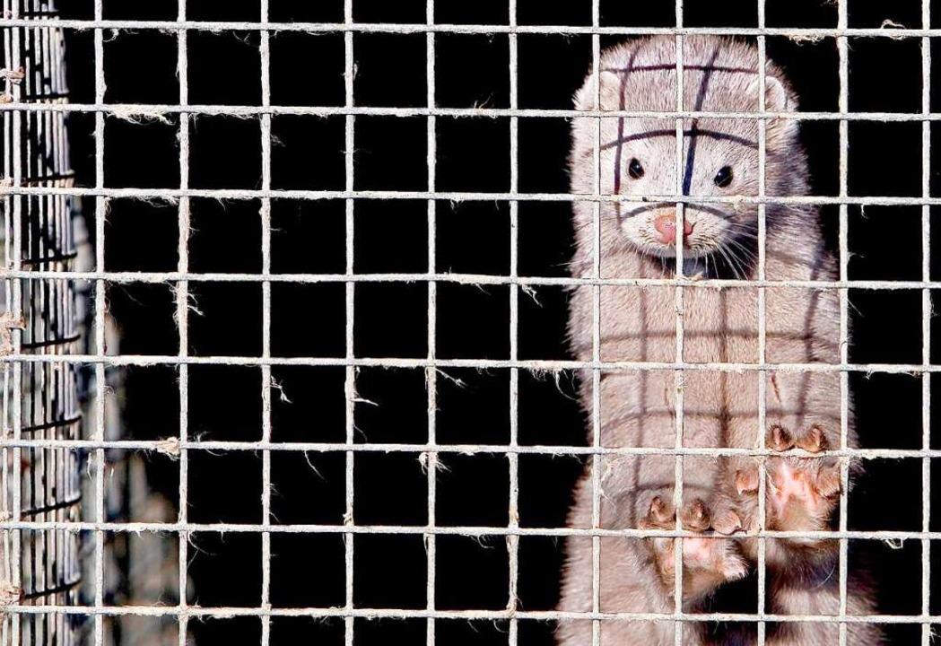 Ein Nerz in einem Käfig in einer chinesischen Nerzfarm.  | Foto: epa Diego Azubel (dpa)