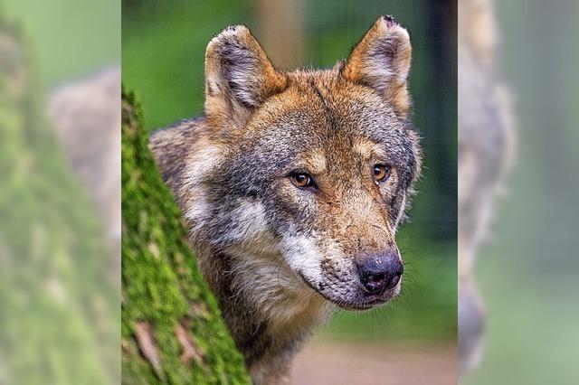 Münstertal startet Umfrage zum Thema Herdenschutz