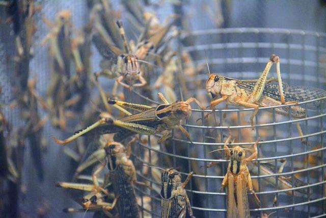 Im Basler Zoo werden Heuschrecken vollautomatisch gezüchtet