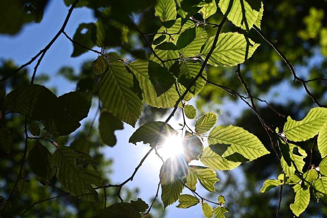Durch Bäume im Hardtwald scheint die Sonne.    Foto: Uli Deck (dpa)