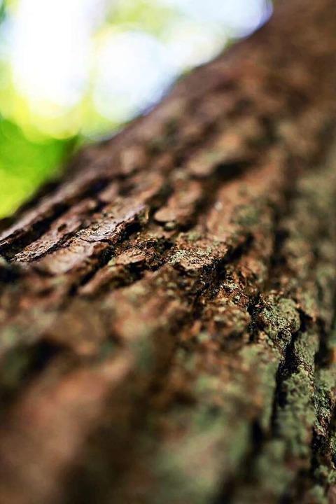 Borkenkäfer sorgen für Schäden.    Foto: Uli Deck (dpa)
