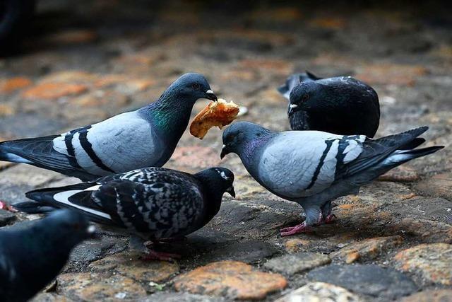 In Rheinfelden/Schweiz wird die Taubenpopulation reguliert