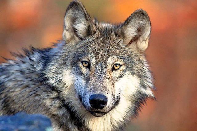 Warum wolfsabweisende Zäune bei Landwirten im Kreis Lörrach umstritten sind