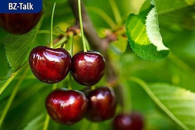 BZ-Talk: Kirschenzeit im Markgräflerland – Obstbauern unter Druck