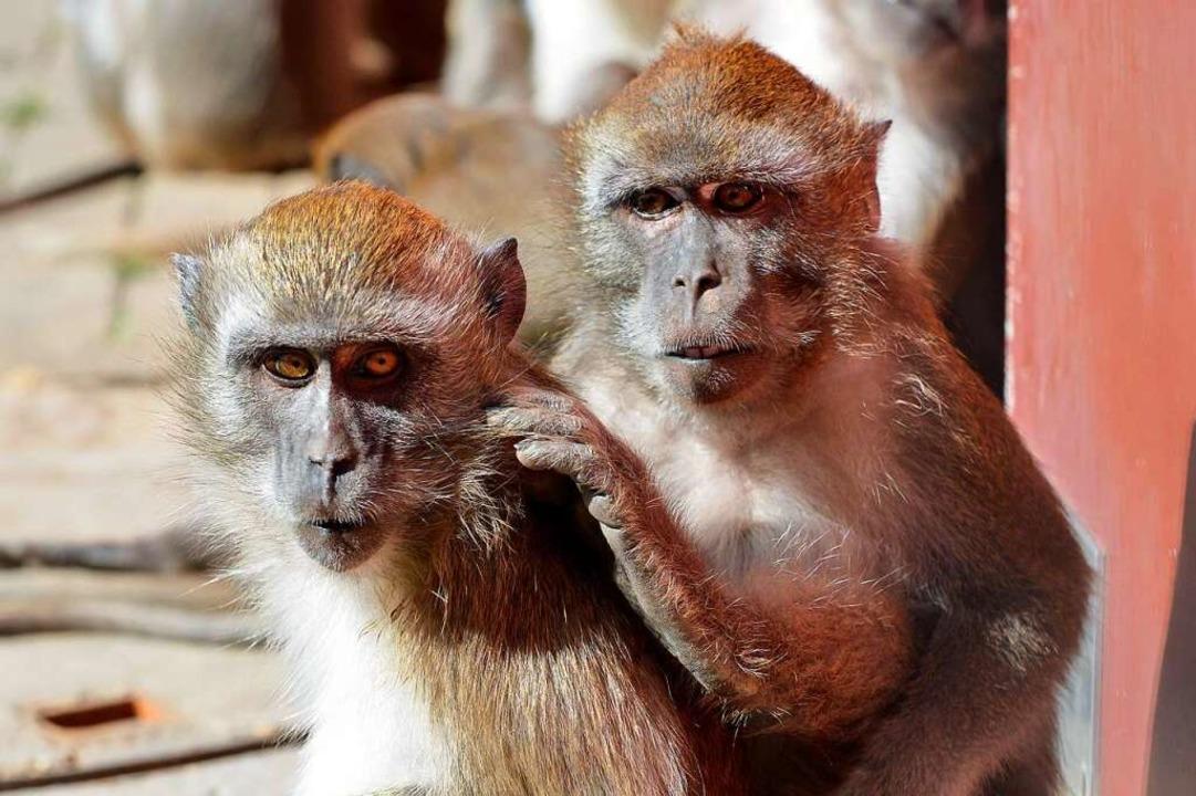 Zwei der Affen auf dem Mundenhof in trauter Zweisamkeit    Foto: Michael Bamberger