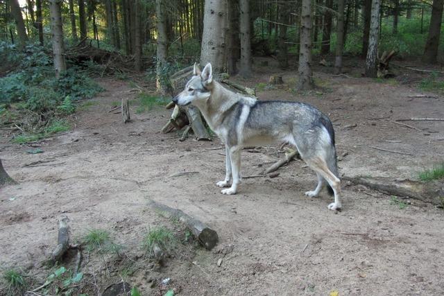 Zwei Wolfshunde bei Todtnau gefilmt – Gerücht über Wölfe widerlegt