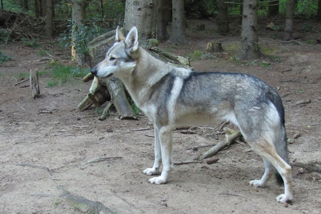 Ein Wolfshund    Foto: Forstliche Versuchsanstalt