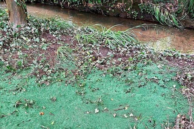 Regen spült Kunstrasen-Granulat in die Natur – SC Freiburg muss aufräumen