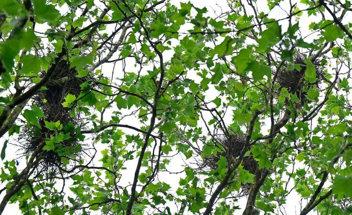 Zahlreiche Krähennester gibt es auch in den Bäumen im Stadtteil Vauban.  | Foto: Michael Bamberger