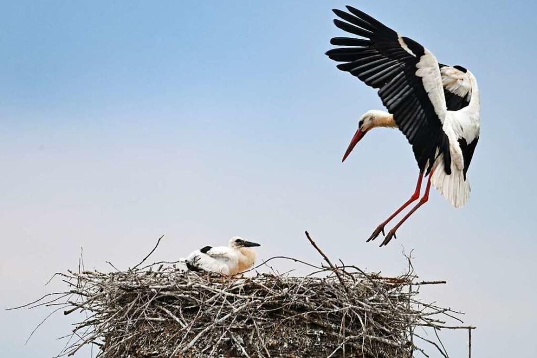 Storch im Anflug auf das Nest    Foto: Arne Dedert (dpa)