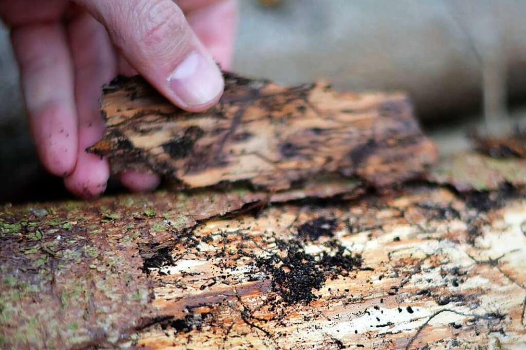 Unter der Rinde tummeln sich Schädlinge.  | Foto: Kathrin Blum