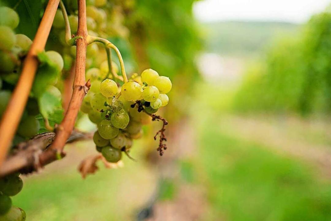Der Weinanbau macht viel Arbeit.   | Foto: Nicolas Armer (dpa)