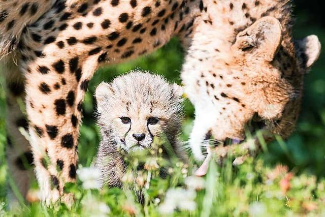 Der Basler Zoo meldet Nachwuchs bei den Geparden