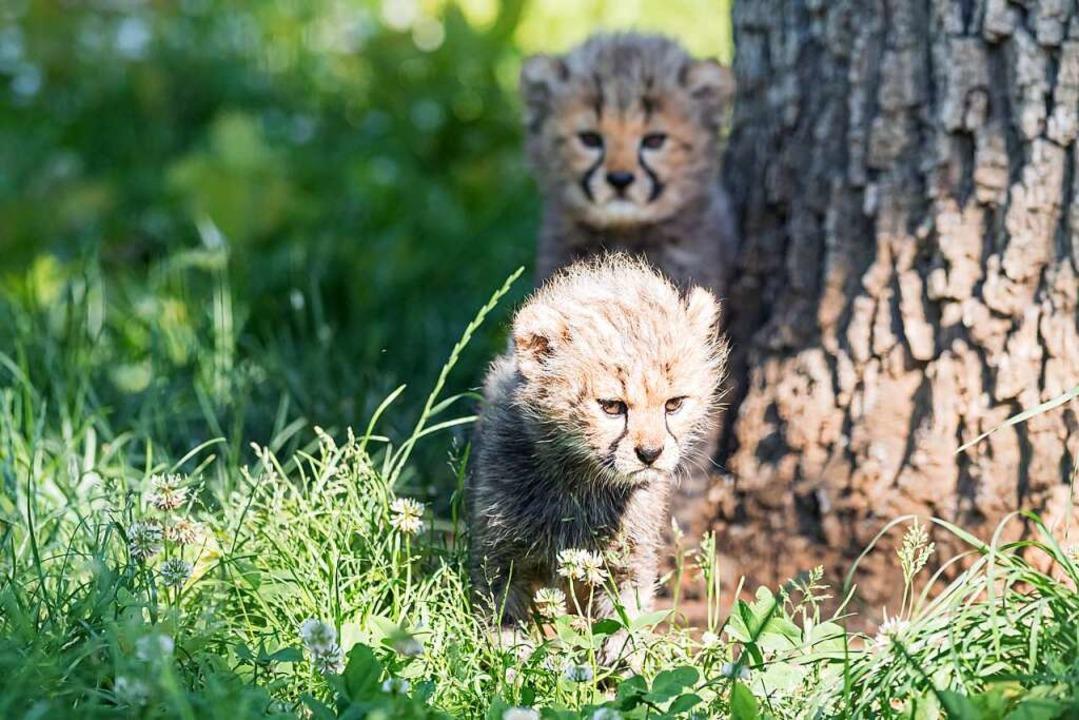 Bei den Geparden im Basler Zoo gibt es Nachwuchs.    Foto: Zoo Basel (Torben Weber)