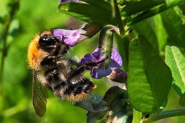In einem Bienenstand in Riehen wurde die Sauerbrut festgestellt