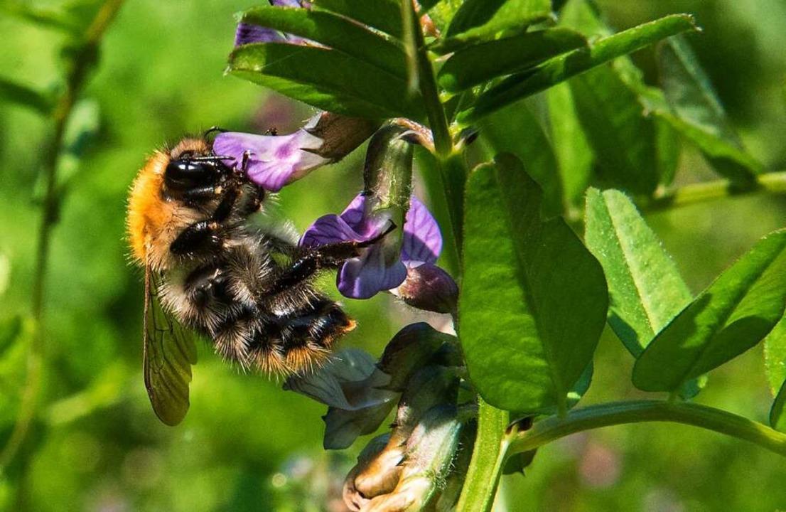 Für ausgewachsene Bienen ist die Faulbrut keine Gefahr.    Foto: Daniel Bockwoldt (dpa)