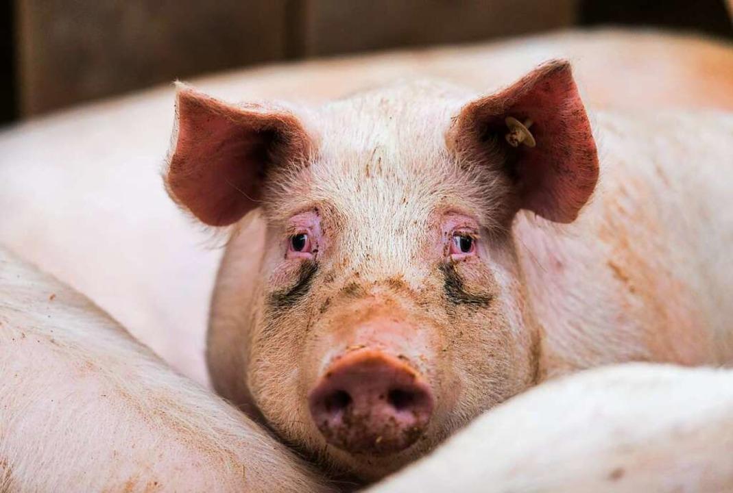 Ein Schwein in einem Stall (Archivbild)    Foto: Andreas Arnold (dpa)