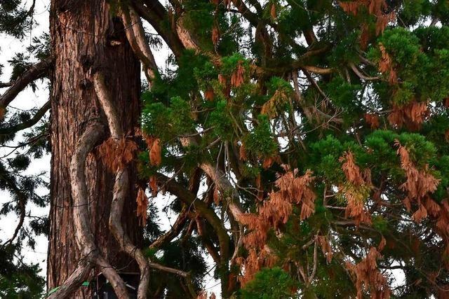 Rheinfeldens einziger Mammutbaum ist im Trockenstress