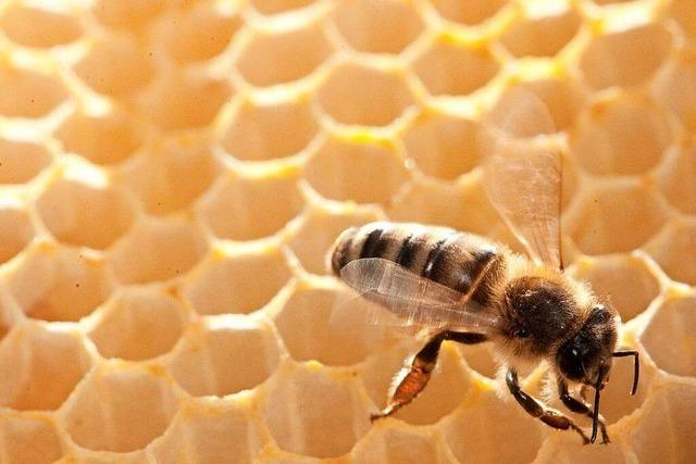 Das nasskalte Frühjahr hat den Honigbienen im Markgräflerland zugesetzt
