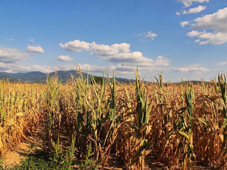 Dort, wo Mais nicht beregnet wird, vertrocknet die Kultur.   | Foto: Jutta Schütz