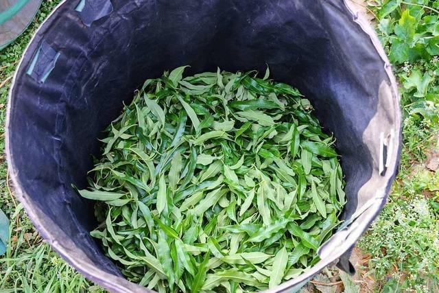 Die exotische Alleskönnerin: Zitronenverbene wird auch in Südbaden gezüchtet