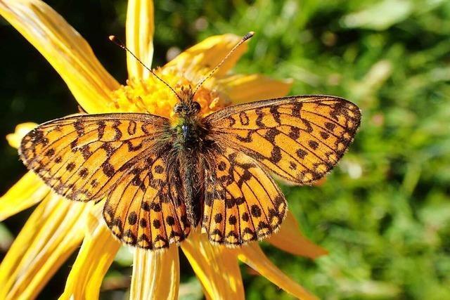 Am Feldberg gibt es rund 60 Schmetterlingsarten zu entdecken
