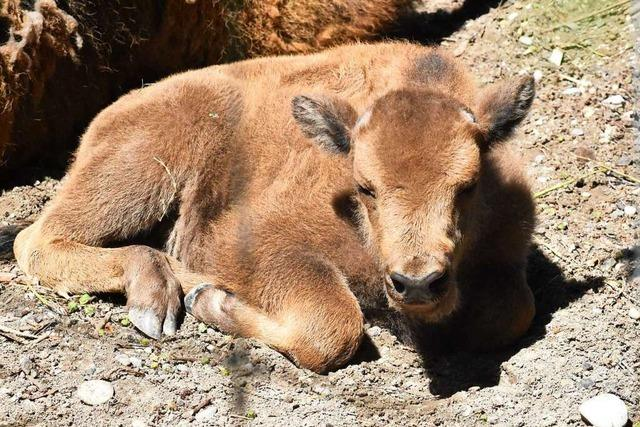 Jungwisent Baldus ist der neue Star im Tierpark Lange Erlen