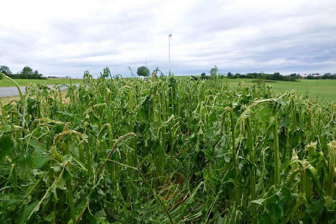 Auf den Feldern zerschlug das Hagelwet...ine Ansaat der  Durchwachsene Silphie.  | Foto: Stefan Limberger-Andris