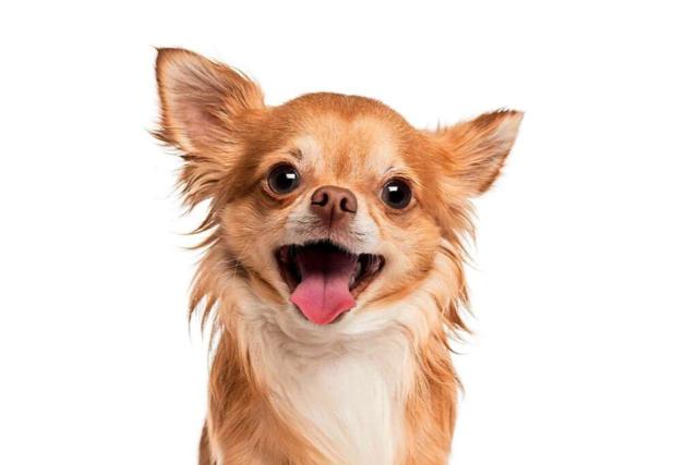 Herrenloser Chihuahua beißt Lörracher Polizisten in den Finger