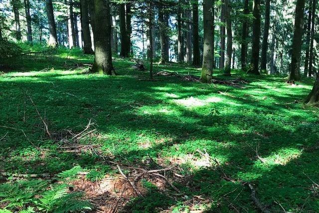 Im Oberrieder Wald musste so viel Holz geschlagen werden wie lange nicht mehr