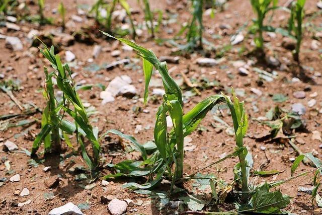 Hagelunwetter vernichtet Getreideernte rund um Bonndorf teils komplett