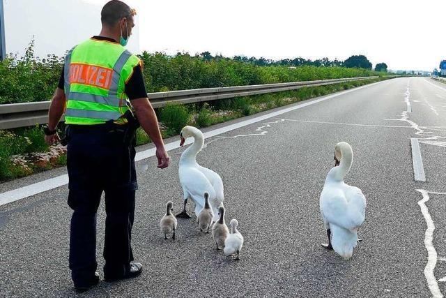 Polizei rettet Schwanenfamilie von der Autobahn bei Hartheim