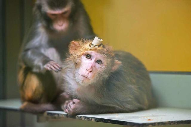 Wegen Corona sind Affen für Tierversuche stark gefragt