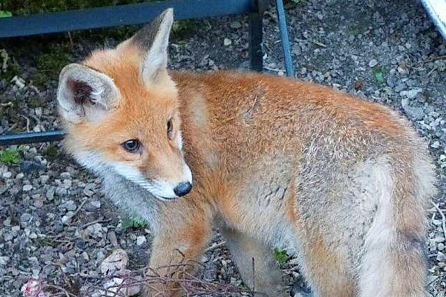 Ein Fuchswelpe zum Kuscheln: Polizei ermittelt gegen Frau