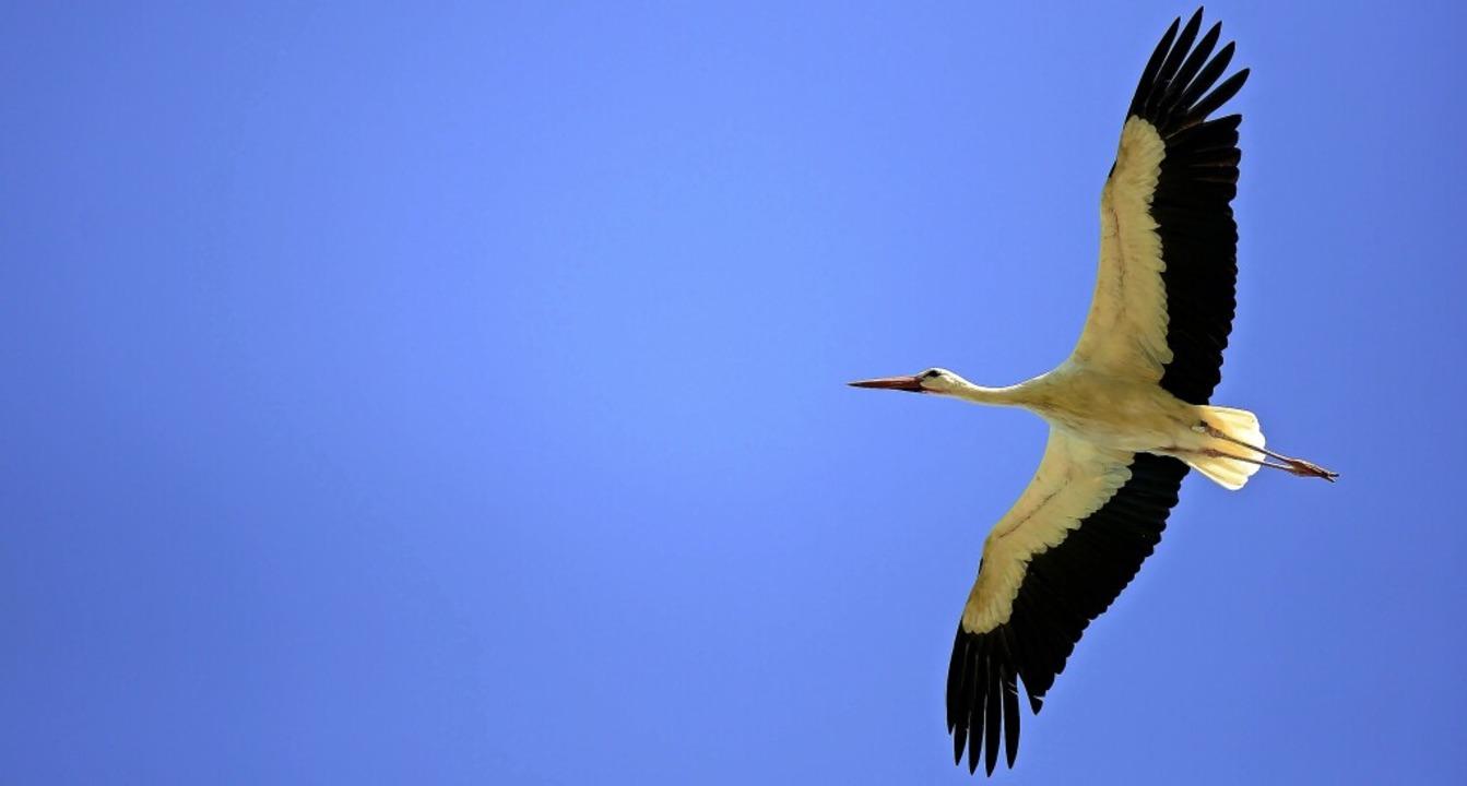 Wo er wohl hin will, dieser Storch? Futter suchen vielleicht?     Foto: Ingo Schneider