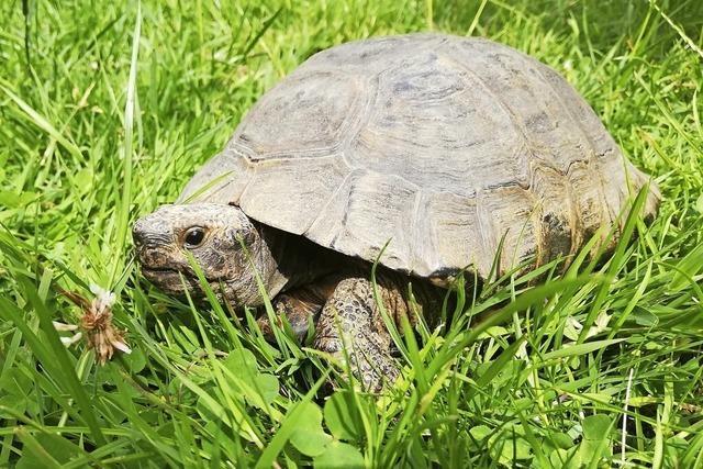 Eine neugierige Landschildkröte