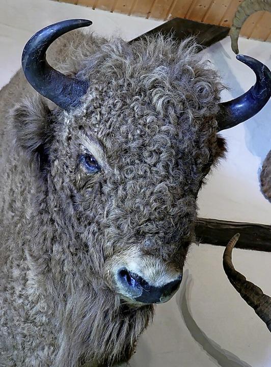 Wisent (europäischer Bison)  | Foto: Juliane Kühnemund