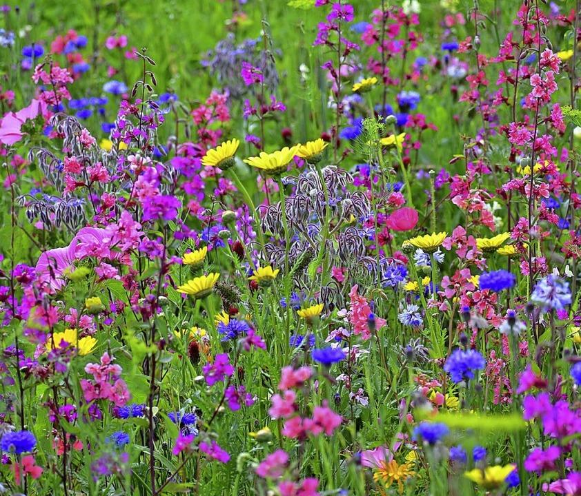 Blühende Wiesen sind wertvoll für Inse...hen Bad Krozingen und Staufen gemacht.    Foto: Edgar Erler