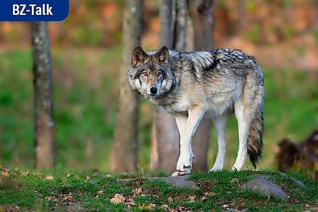 BZ-Talk: Der Wolf ist zurück – was nun?