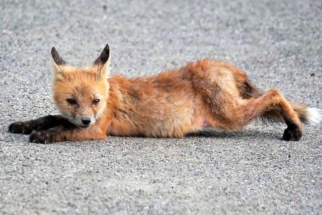 Ein Fuchswelpe macht es sich auf einem Weg in den Reben gemütlich