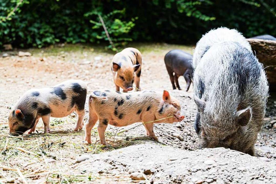 Die Minipigs im Basler Zoo haben Nachwuchs  | Foto: Zoo Basel (Torben Weber)