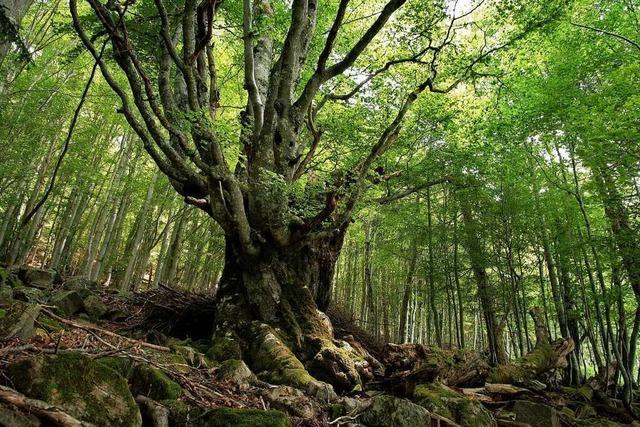 Waldkircher sucht im Südschwarzwald nach besonderen Bäumen