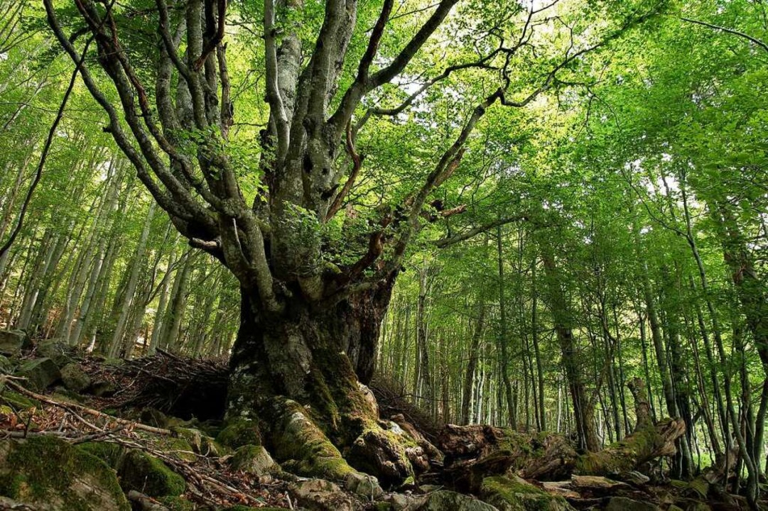 Dieser Baum hat schon viel erlebt.   | Foto: Michel Grün