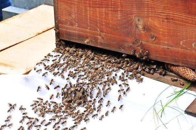 In Kandern beobachten Kinder, wie ein ganzes Bienenvolk umzieht